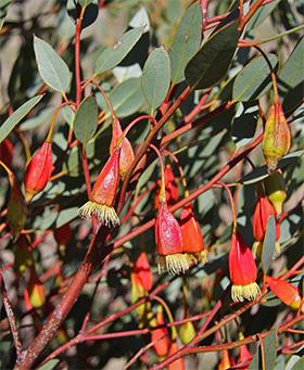 Eucalyptus dolichorhyncha