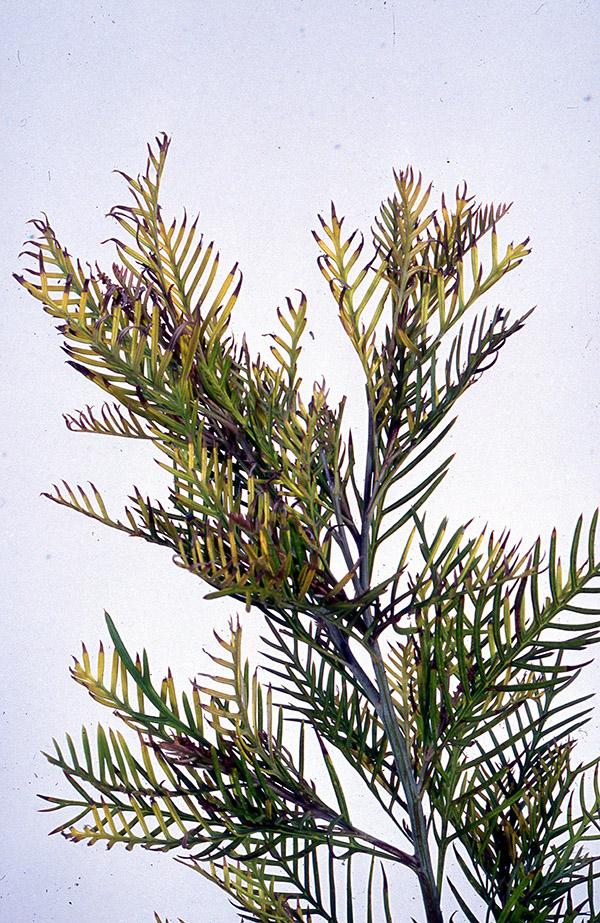 Grevillea with iron deficiency