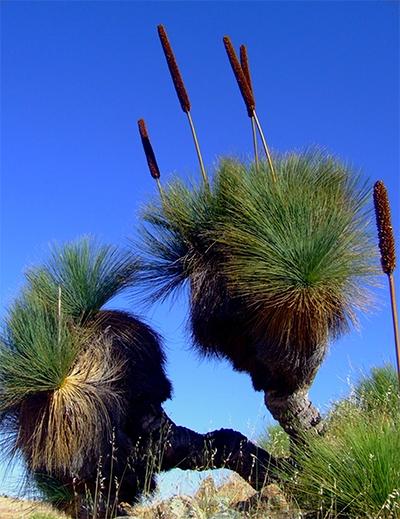 Yackas – Xanthorrhea quadrangulata,  Photo by Allen Russell taken at Palmer,  SA